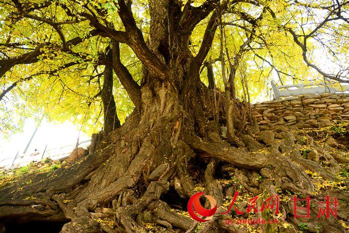 康县严家坝村:千年银杏树生长的地方
