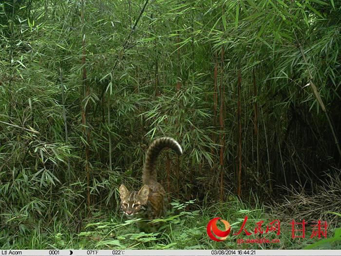 甘肃白水江国家级自然保护区拍摄到珍稀猫科动物影像