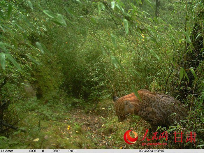人民网兰州1月16日电(记者 银燕 通讯员 李瑞春)记者从甘肃白水江国家级自然保护区管理局获悉,近日,保护区工作人员从野外布设的多台红外相机中,收集到了3只不同个体猫科动物,并拍到了标准的全身照。这些猫科动物被初步认定为亚洲金猫。 工作人员介绍,此次保护区在不同季节、不同区域布设的红外相机多次都拍到了这种动物的身影:在观察到的画面中,这三只猫科动物,一只悠闲自得的漫步在雪后的林间小道上,一只蹲坐在地上凝视,另一只疑似在喷射尿液做标记。 经过工作人员仔细辨认,根据动物眼的内上角有一道镶黑边的白纹、尾巴后段的