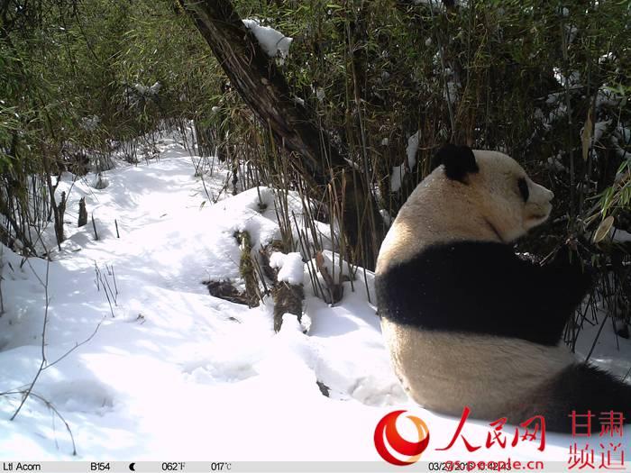 甘肃白水江保护区频现大熊猫等40余种珍稀野生动物