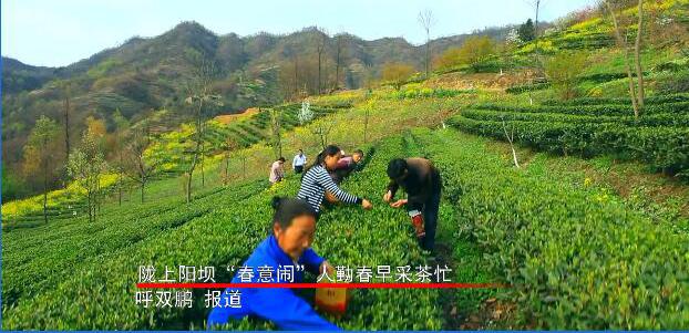 """陇上阳坝""""春意闹"""" 人勤春早采茶忙         23日,记者深入康县阳坝镇宋沟村和农户一起感受采茶的乐趣。"""