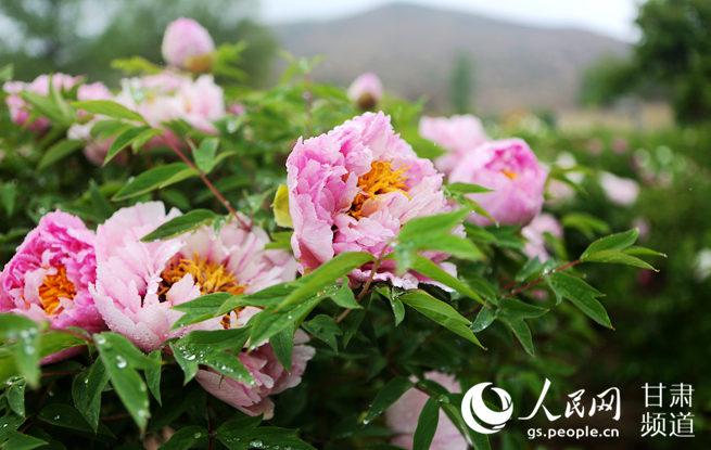 甘肃临洮:牡丹花开迎客来