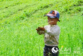 夏河:药材种植带来新机遇