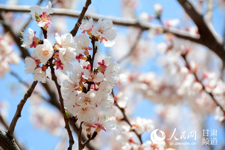 甘肃兰州:春到金城美如画