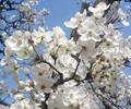 什川文化旅游节开幕        每年清明至谷雨期间,什川万亩梨园一派花海闹春景象,吸引游客纷沓而至。