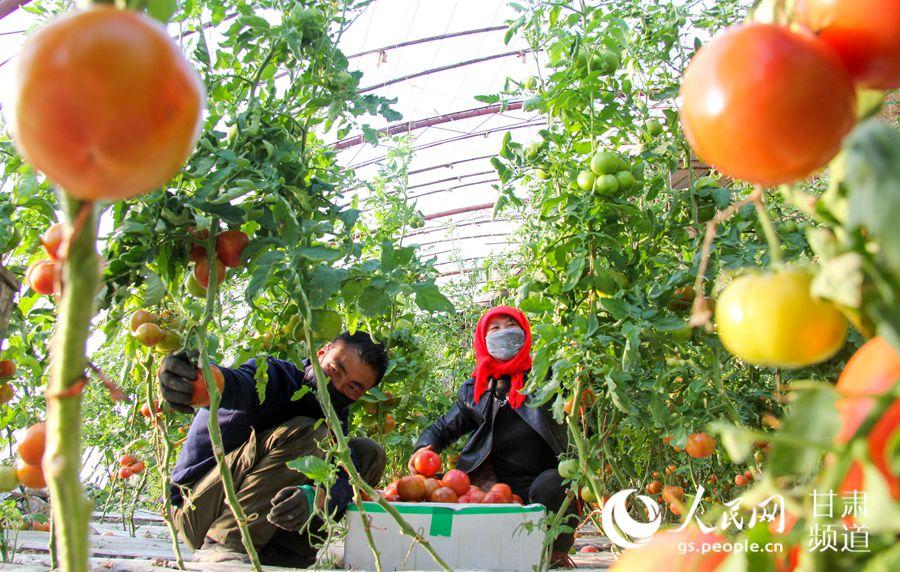 甘肃省酒泉市肃州区总寨戈壁生态产业园区一农户正在采摘成熟的西红柿。(侯崇慧 摄)
