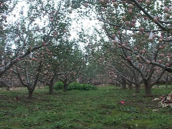 温泉乡5万亩套袋苹实喜获歉意收