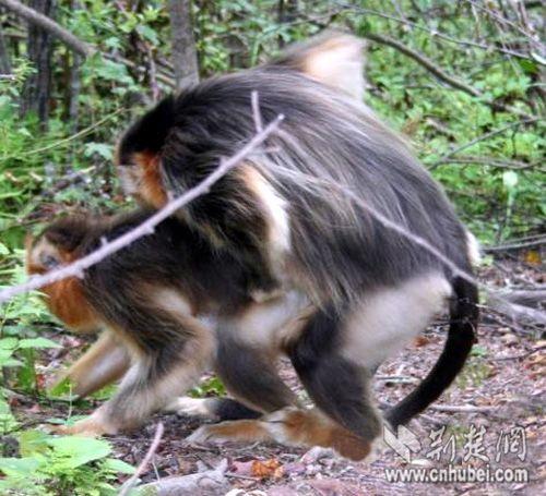 神农架自然保护区首次发现金丝猴同性恋现象(图)